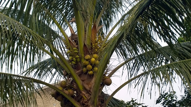 Coconuts ready to be drunk