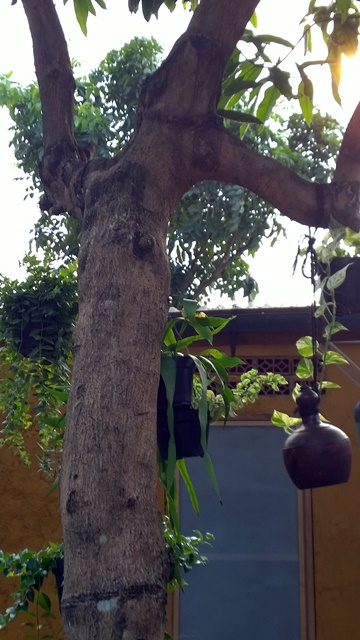 One of the mango trees with hanging plants and a water pot